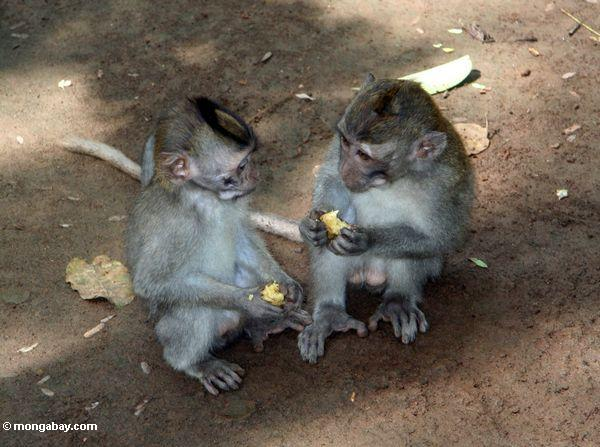 Long-tailed macaques sharing fruit (Ubud, Bali)