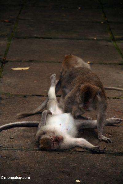 Crab-eating monkeys (Macaca fascicularis) grooming (Ubud, Bali) -- bali8242