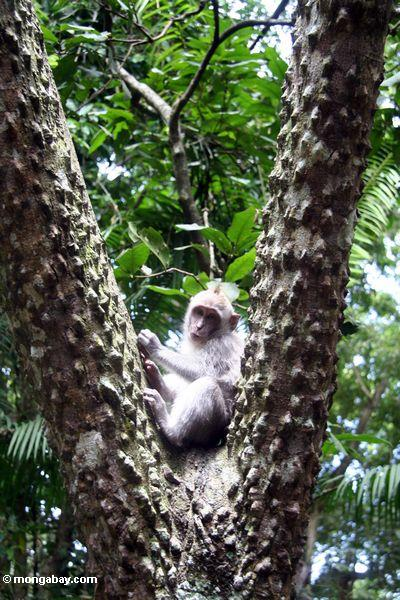 Long-tailed macaque monkey (Macaca fascicularis) in tree (Ubud, Bali)