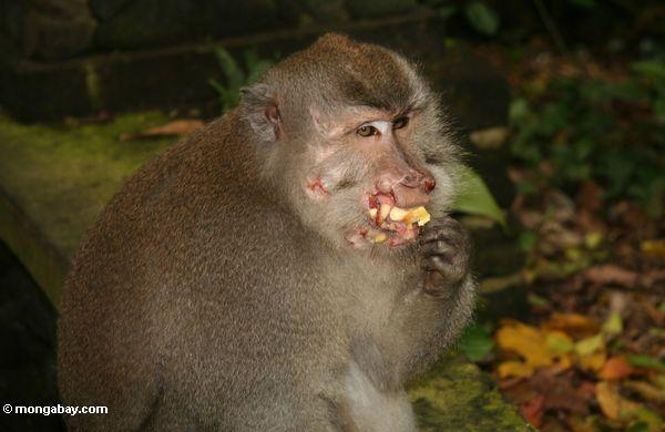 Long-tailed macaque bloodied by fighting with other monkeys (Ubud, Bali)