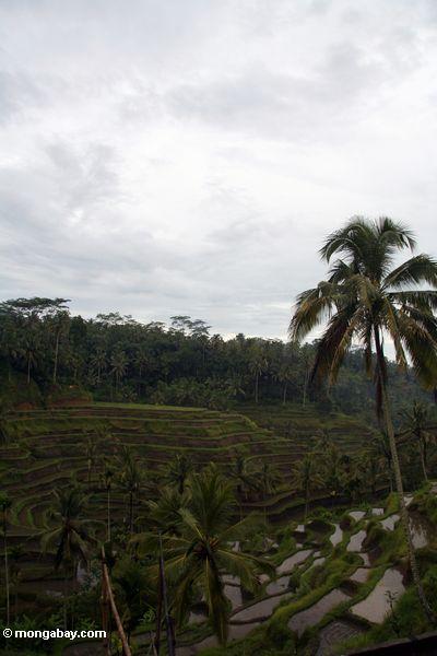 Terraced rice fields of Bali (Ubud, Bali)