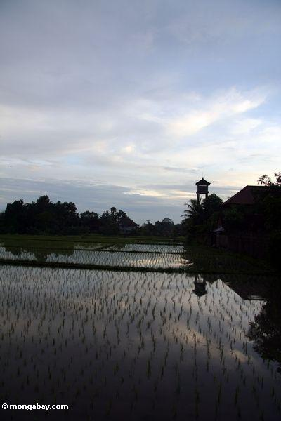 Sunset over the rice fields of Ubud (Ubud, Bali)