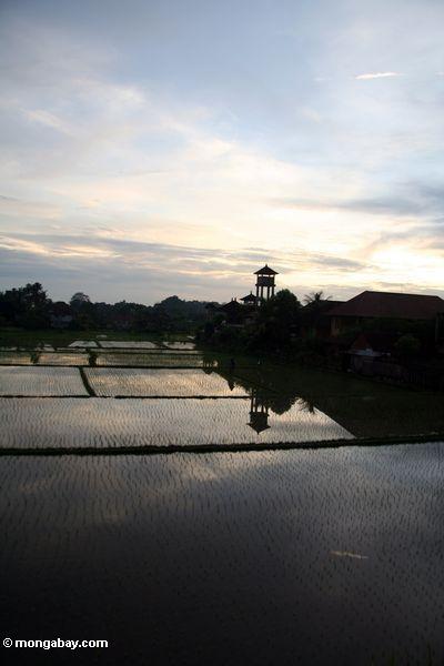 Sunset over a Balinese rice field (Ubud, Bali)