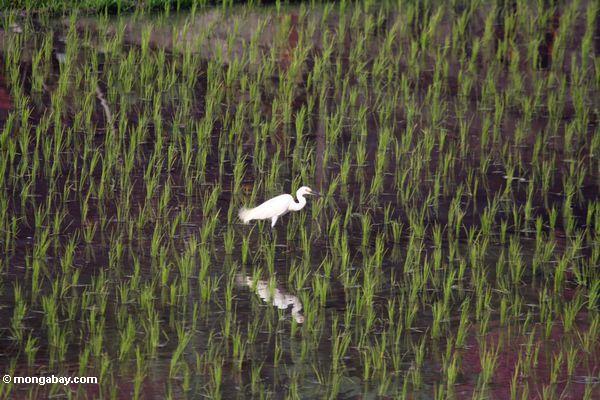White heron wading in a rice field in Bali (Ubud, Bali)