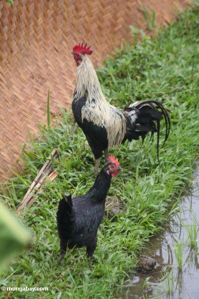 Black Asian chicken / gamecock (Ubud, Bali)