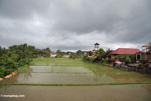 Green rice field of Ubud (Ubud, Bali)