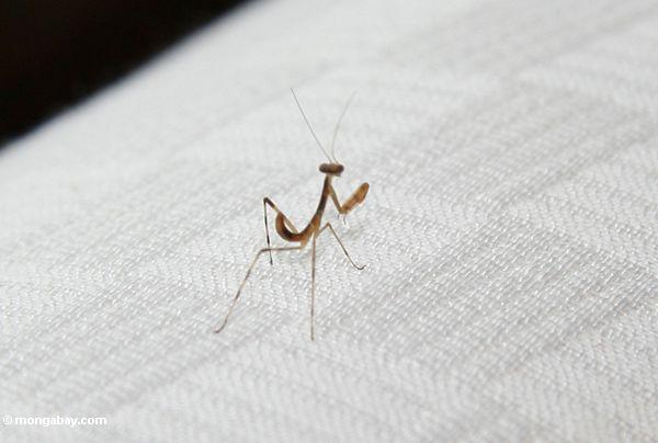 Tiny brown preying mantis (Ubud, Bali)
