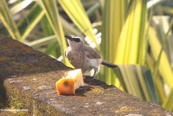 White-gray bird feeding on an apple core (Jimbaran, Bali