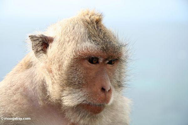 Close up of long-tailed macaque at Uluwatu (Jimbaran, Bali
