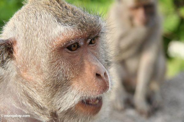 Close up of Cynomolgus monkey at Uluwatu (Jimbaran, Bali