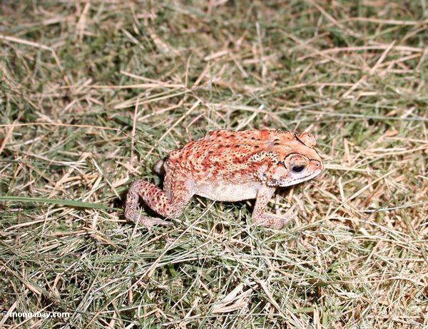 Red, yellow, white, and brown toad in Bali (Jimbaran, Bali