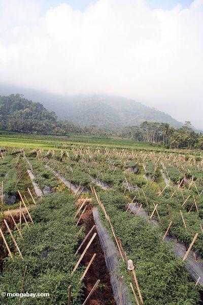 Cultivation of chilis in Java (Java)