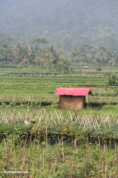 Red roof of a hut among rice paddies and chili fields in Java (Java)