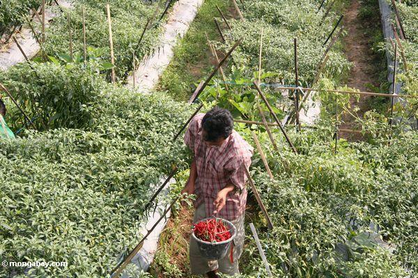 Man harvesting chilis in Java (Java)
