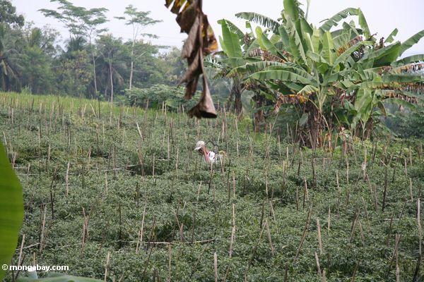 Man spraying pesticides on chili farm in Java (Java)