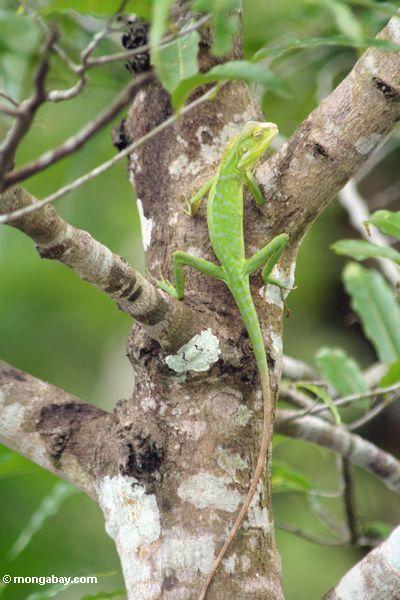 Bright green lizard (Bronchocela cristatella?) in Java, Indonesia (Java)