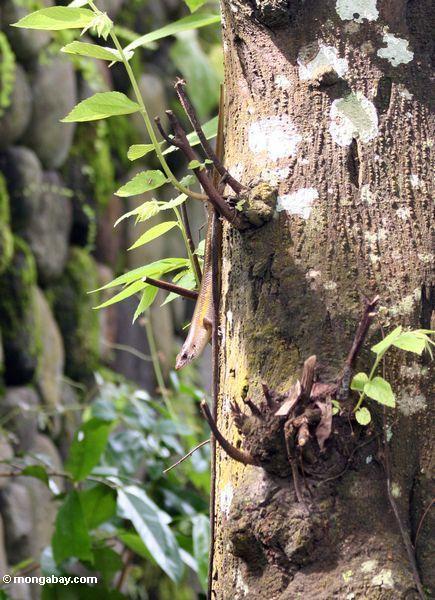 Skink on tree trunk in Java (Java)
