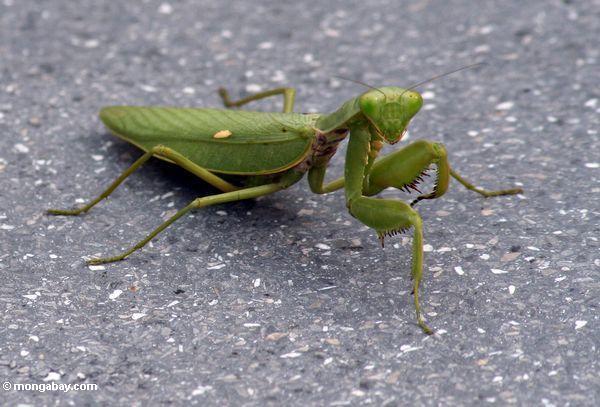 Green mantid looking into the camera (Java)
