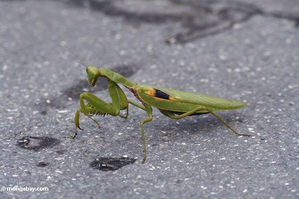 Green praying mantis with yellow and black mark on its wing (Java)