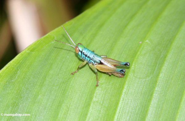 Blue green and copper colored grasshopper with large red eyes and yellow antennae (Java) -- java6325