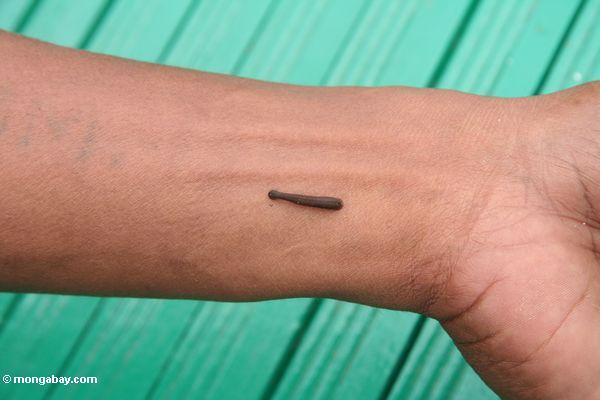 Forest leech on man's wrist (Kalimantan, Borneo - Indonesian Borneo)