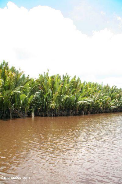 Nipa palms along the Seikonyer River (Kalimantan, Borneo - Indonesian Borneo)