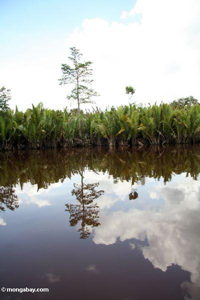 Nipa palms along the Seikonyer River (Kalimantan, Borneo - Indonesian Borneo) -- kali8924