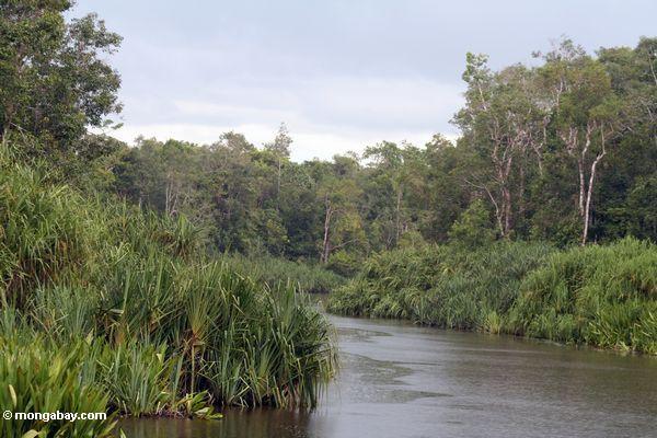Pandanus palms along the Sekonyer River (Kalimantan, Borneo - Indonesian Borneo)