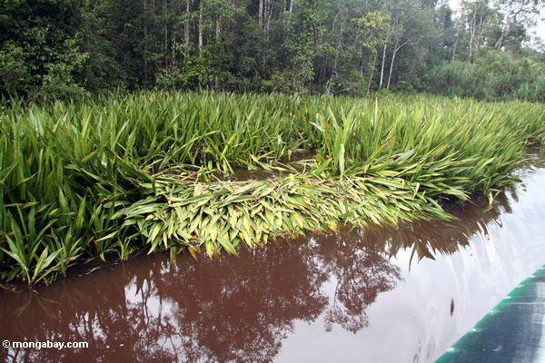 Crocodile nest site on the Sekonyer River (Kalimantan, Borneo - Indonesian Borneo)