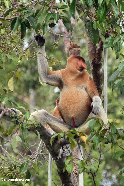 Male Nasalis larvatus monkey eating fruit (Kalimantan, Borneo - Indonesian Borneo)