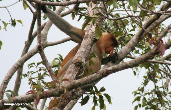 Adult male Proboscis Monkey in tree (Kalimantan, Borneo - Indonesian Borneo)