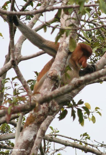 Adult male Proboscis Monkey in tree (Kalimantan, Borneo - Indonesian Borneo) -- kali9057