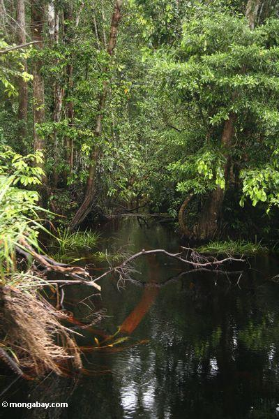Inflowing creek along blackwater river to Camp Leaky (Kalimantan, Borneo - Indonesian Borneo)