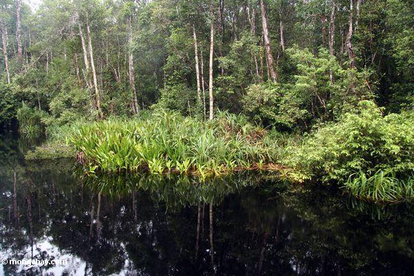Blackwater river in Tanjung Puting National Park (Kalimantan, Borneo - Indonesian Borneo)