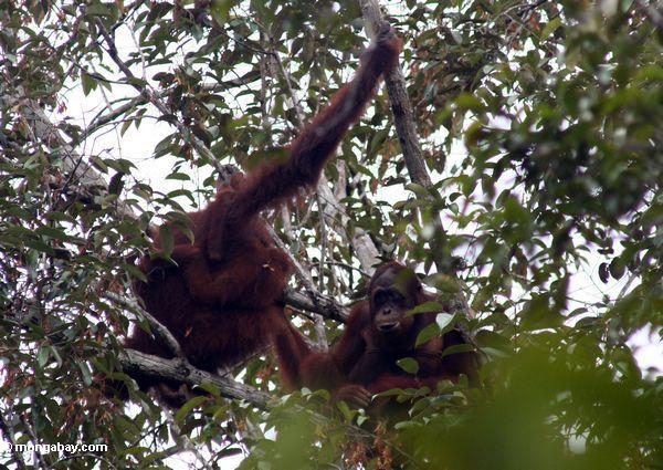 Ex-captive Borneo Orang-utans in tree (Kalimantan, Borneo - Indonesian Borneo)