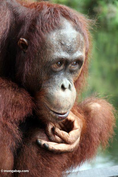 Orangutan in Borneo. Photo by Rhett A Butler