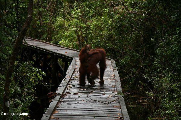 Rehabilitated orangutans ambling down boardwalk at Camp Leaky (Kalimantan, Borneo - Indonesian Borneo)
