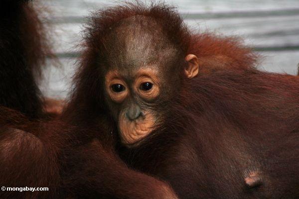 Baby orangutan clinging to mother orangutan (Kalimantan, Borneo - Indonesian Borneo)