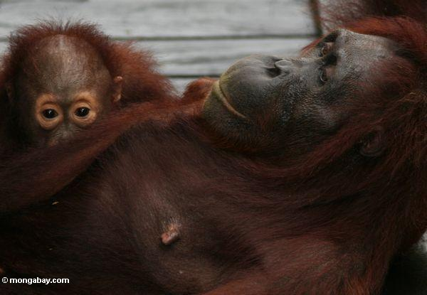 Rehabilitated mother and baby orangutans on boardwalk at Camp Leaky (Kalimantan, Borneo - Indonesian Borneo)