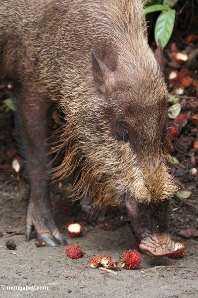 The Bearded Pig of Borneo, eating rambutan fruit (Kalimantan, Borneo - Indonesian Borneo)