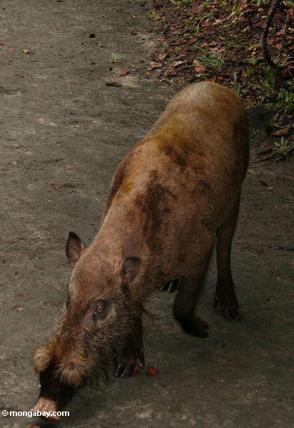 The Bearded Pig of Borneo (Kalimantan, Borneo - Indonesian Borneo)