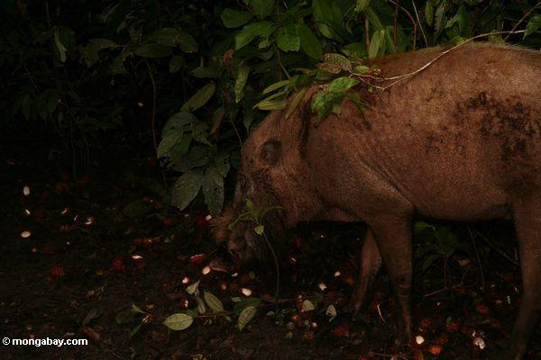 Bornean bearded pig (Sus barbatus) feeding on rambutan fruit (Kalimantan, Borneo - Indonesian Borneo)