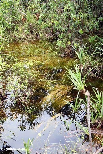 Blackwater swamp  vegetation (Kalimantan, Borneo - Indonesian Borneo) -- kali9353