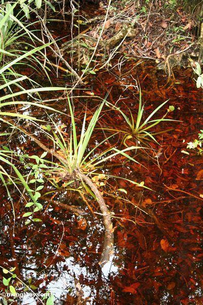 Blackwater swamp grass (Kalimantan, Borneo - Indonesian Borneo)