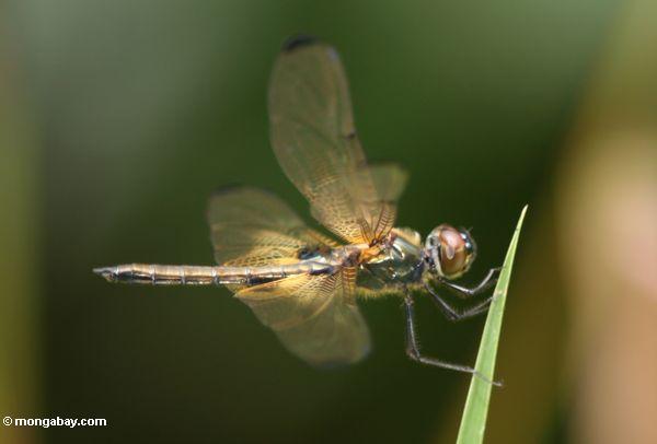 Brachydiplax dragonfly in Kalimantan (Kalimantan, Borneo - Indonesian Borneo)