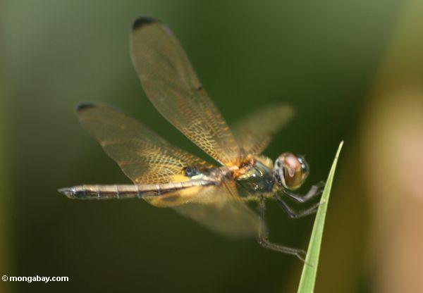 Brachydiplax dragonfly species in Borneo (Kalimantan, Borneo - Indonesian Borneo)