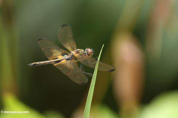 Brachydiplax dragonfly species (Kalimantan, Borneo - Indonesian Borneo)