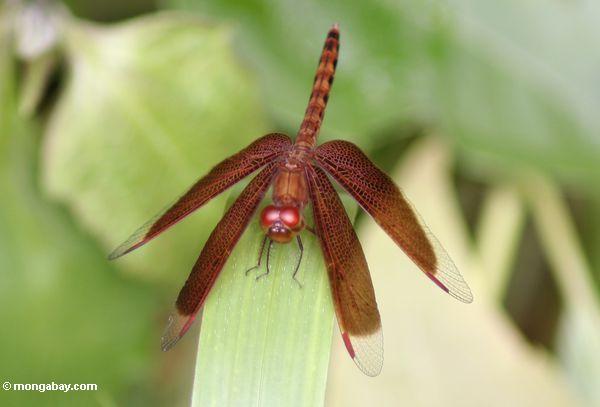 Grasshawk dragonfly (Neurothemis fluctuans) (Kalimantan, Borneo - Indonesian Borneo)