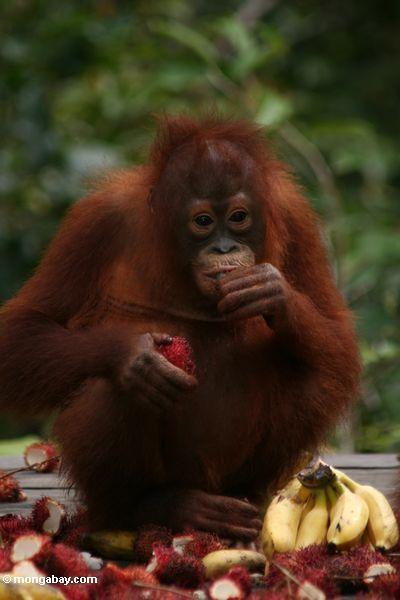 Orangutan By Bianca And Bethan