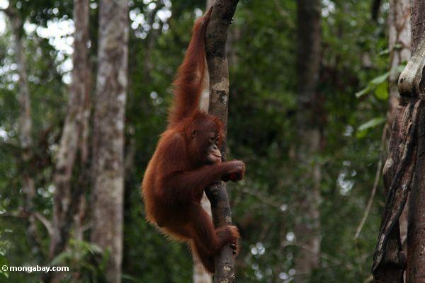 Young orangutan in Indonesia's Tanjung Puting National Park (Kalimantan, Borneo - Indonesian Borneo)